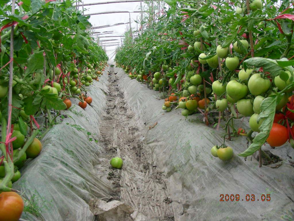 番茄種植注意事項 - 番茄 Tomato
